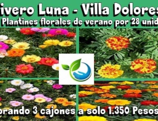 VIVERO LUNA, VILLA DOLORES : SUPER OFERTA DE 28 UNIDADES(1 CAJÓN) DE PLANTINES FLORALES DE VERANO A SOLO 1.350 PESOS, LLEVANDO TRES CAJONES.
