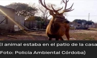 CÓRDOBA : TENÍA UN CIERVO COLORADO DE MASCOTA EN EL PATIO DE SU CASA.